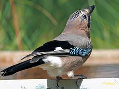 Arrendajo común (Garrulus glandarius) (14) (eb3alfmiguel) Tags: aves passeriformes corvidos corvidae arrendajo común garrulus glandarius