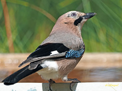 Arrendajo común (Garrulus glandarius) (12) (eb3alfmiguel) Tags: aves passeriformes corvidos corvidae arrendajo común garrulus glandarius