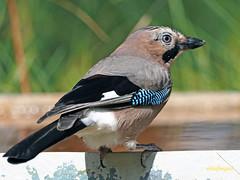 Arrendajo común (Garrulus glandarius) (7) (eb3alfmiguel) Tags: aves passeriformes corvidos corvidae arrendajo común garrulus glandarius