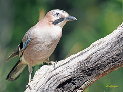 Arrendajo común (Garrulus glandarius) (5) (eb3alfmiguel) Tags: aves passeriformes corvidos corvidae arrendajo común garrulus glandarius