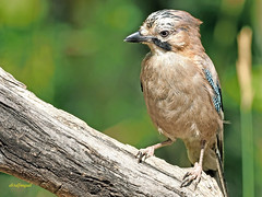 Arrendajo común (Garrulus glandarius) (4) (eb3alfmiguel) Tags: aves passeriformes corvidos corvidae arrendajo común garrulus glandarius