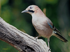 Arrendajo común (Garrulus glandarius) (1) (eb3alfmiguel) Tags: aves passeriformes corvidos corvidae arrendajo común garrulus glandarius