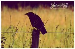 Photo of crow