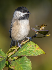 Carolina Chickadee (shooter1229) Tags: animal avian bird carolinachickadee heronpark nature outdoors wetlands wildlife