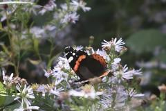 Vanessa atalanta      Emil Suter    Aplanat  No 1 (情事針寸II) Tags: flower macro nature animal butterfly insect bokeh oldlens emilsuteraplanatno1 macrodreams ngc