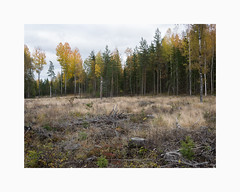 Källviken, Falun 2019 (Karl Gunnarsson) Tags: g80 panasonic20mmf17 källviken falun dalarna sweden sverige autumn fall forest woods trees birches clearcut kalhygge pines spruces