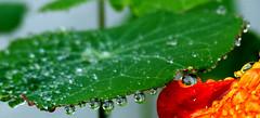 Kapuzinerkresse (Serafinas Photographs) Tags: rain nature plants outdoor landscape kapuzinerkresse spiegelungen mirror raindrops