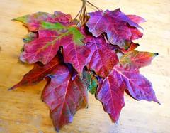 Fall colors: Maple leaves (ali eminov) Tags: wayne nebraska seasons fall trees maples leaves mapleleaves colors