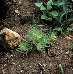 Ajuga chamaepitys (L.) SCHREB. Gelber Günsel, Acker-Günsel Yellow Bugle, Ground-Pine (Spiranthes2013) Tags: ajugachamaepitys ajugachamaepityslschreb gelbergünsel ackergünsel yellowbugle groundpine kfwolfstetter scan deutschland diaarchiv diascan germany becker bayern bavaria unterfranken lowerfranconia lkmiltenberg 1991 6x6dias 6x6 plant pflanze pflanzendias plantae nature natur angiospermen angiosperms monocots monokotyledonen euasteriden lippenblütlerartige lippenblütler lamiales lamiaceae günsel ajuga asterids asteriden eudicots eudicosiden