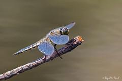 Libellula Quadrimaculata (McGuiver) Tags: canon canon7dmarkii canon100400 macro macrophotography macrofotografia pirineos pirineus pyrenees libelula dragonfly libellulaqaudrimaculata