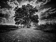 Baum- (lorenz.rudek) Tags: braunschweig baum volkamrode schwarzweis filter blackwhite