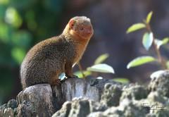 Zwergmanguste/Dwarf mongoose (babsbaron ( Bella )) Tags: nature naturfotografie naturephotographie tiere animals tierfotografie animalphotographie säugetiere mammals zoo tierpark zoom raubtiere predators gelsenkirchen animalpark