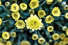 DSCF6024 (thang nguyen photography) Tags: fujix100t flower color macro closeup rangefinder artistic mum chrysanthemum garden fujinon 23mmf20 theworldthroughmyeyes visualpoetry