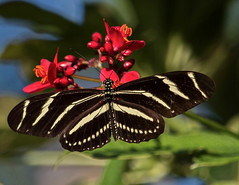 On Jatropha (ACEZandEIGHTZ) Tags: zebralongwing nikond3200 flyinginsect bokeh flowers macro closeup jatrophatree red butterfly heliconiuscharitonius wings winged coth sunrays5 coth5 alittlebeauty