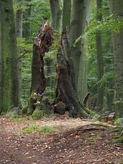 divided (Joerg Esper) Tags: deutschland de germany rheinlandpfalz marialaach laachersee wald wood woods forest tree trees natur nature autumn fall ausdernaturoutofnature olympus olympusomdem1 olympusmzuikodigitaled12‑100mmf4ispro