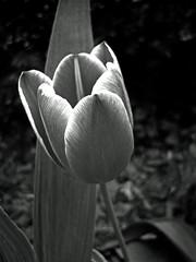 Highlights (kfocean01) Tags: blackandwhite bw black blackwhite blackandwhitephotos nature flower flowers tulip spring