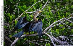 Anhinga, Florida Everglades NP (jwvraets) Tags: florida everglades evergladesnationalpark bird anhinga posing wings opensource rawtherapee gimp nikon d7100 afpdxnikkor70300mmnonvr