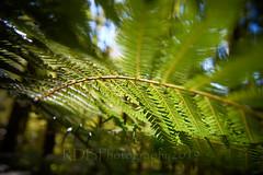 Silverstream Bush 12 (ArdieBeaPhotography) Tags: beech forest bush trees undergrowth ferns silver sunny afternoon moss leaflitter humus branches canopy hillside tamronspaf2875mmf28xrdildasphericalif