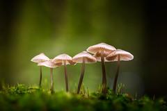 Fungi Family 2 (alowlandr) Tags: fungus fungi mushroom macro autumn fall growing season green nature beautyinnature closeup moss