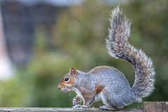 Squirrel! (Simon Taylor Local Photographic) Tags: squirrel animal mammal grey rodent brush tail uk garden lone creature