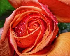 Rose in Rain (Scouse Smurf) Tags: rose rain flower drop macro closeup project365 day286