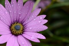 Flowers in the Rain (mitchell_dawn) Tags: garden flowers rain petals droplets raindrops