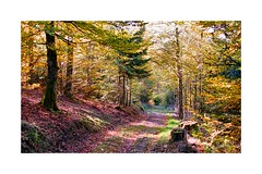 La forêt alsacienne en automne (Pierre_Bn) Tags: alsace elsass france frankreich vosges automne autumn hicking balade promenade sigma sigmaprophoto sigmasd15 affinityphoto 30mm sigma30mmf14art foret forêt forest