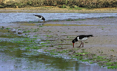 Oystercatchers:  6.10.19. (VolVal) Tags: dorset bournemouth hengistburyhead birds oystercatchers water mud october