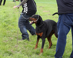 BARK FOR LIFE TWO (Gary K. Mann) Tags: workingdogs working dog ipo doberman dobermann dobermans dobermanns charityfundogshow england great britian obedience fun enjoyment compainion dogs dogsports puppy puppies adult obstacle course riley dean superstar foundation
