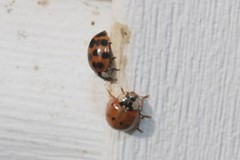 Two Asian Lady Beetles On J-Channel Of Garage 004 - Harmonia Axyridis (Chrisser) Tags: insects insect beetles beetle asianladybeetles asianladybeetle harmoniaaxyridis nature ontario canada canoneosrebelt6i canonefs60mmf28macrousmprimelens coccinellidae lens00025 digital