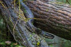 Snake Road Cottonmouth (Agkistrodon piscivorus leucostoma) (jrothdog) Tags: rothmeyer snakeroad herping herps herp reptiles snakes snake illinois shawneenationalforest laruepinehills