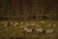 ...kveldsmat... (KvikneFoto) Tags: nikon1j2 sau sheep høst autumn fall
