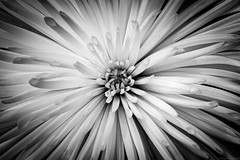 flower study (rich lewis) Tags: richlewis flower macro macrophotography monochrome mono blackandwhite