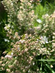 Flowering Shrub (Serendigity) Tags: adelaidehills australia belair sa southaustralia nationalpark nature spring