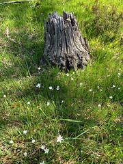Spring Flowers and Old Stump (Serendigity) Tags: adelaidehills australia belair sa southaustralia nationalpark nature spring