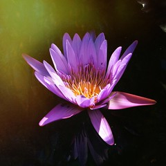 Touched by the light (gomosh2) Tags: waterlily purpleflower lightandshadow closeupflower