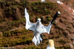 The conductor and his audience (markus.jacobs1899) Tags: tiere natur d500 helgoland vögel wildtiere