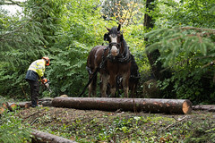 Sunday workers (northdevonfocus) Tags: shirehorse horse trees woodland forest lumberjack heavyhorse landscape nature