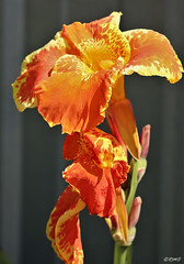 Canna Lily (Reminds me of...) Tags: rmo texas granger flowers williamsoncounty