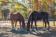Red and Zippy with Fall Colors (Samantha Decker) Tags: greenfield autumn thoroughbred upstate fall newyork horse canonef50mmf14usm samanthadecker oldfriendsatcabincreek ny unitedstatesofamerica