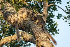 Ratufa macroura ssp. dandolena (Grizzled Giant Squirrels) - Sciuridae - Yala National Park, Southern Province, Sri Lanka (Nature21290) Tags: april2019 grizzledgiantsquirrel mammalia ratufamacroura ratufamacrourasspdandolena rodentia sciuridae southernprovince srilanka2019 yalanationalpark
