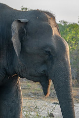 Elephas maximus ssp. maximus (Sri Lankan Elephant) - Elephantidae - Yala National Park, Southern Province, Sri Lanka-2 (Nature21290) Tags: afrotheria april2019 elephantide elephas elephasmaximus elephasmaximussspmaximus mammalia southernprovince srilanka2019 srilankanelephant tissamaharama yalanationalpark