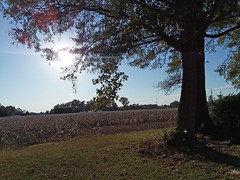 Tree Beside A Cotton Field. (dccradio) Tags: dillon sc southcarolina dilloncounty outdoors outdoor outside sky bluesky tree trees foliage greenery treebranch branch branches treebranches treelimb treelimbs samsung galaxy smj727v j7v cellphone cellphonepicture october saturday saturdayafternoon goodafternoon weekend sun sunshine sunlight grass lawn ground field cotton cottonfield bolls cottonbolls cottonboll boll ag agriculture agricultural