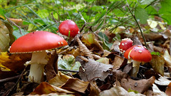 (Carsten Weigel) Tags: herbst autumn walk spaziergang wandern hiking forest wald carstenweigel panasonicgx9 leica818mmf284 mushrooms pilze funghi