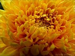 It is generally agreed, that few men are made better.... (itucker, thanks for 5+ million views!) Tags: macro bokeh mum chrysanthemum drops raindrops dukegardens