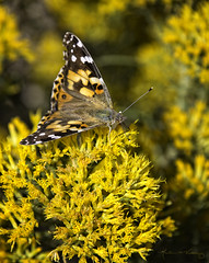 Butterflies and Flowers V (Angles & Edges) Tags: butterfly flower yellow macro nature martinwitt anglesedges