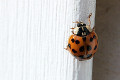 Asian Lady Beetle On J-Channel Of Garage 003 - Harmonia Axyridis (Chrisser) Tags: insects insect beetles beetle asianladybeetles asianladybeetle harmoniaaxyridis nature ontario canada canoneosrebelt6i canonefs60mmf28macrousmprimelens coccinellidae lens00025 digital