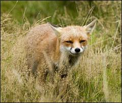 Contented (Craig 2112) Tags: red fox vulpesvulpes mammal devon