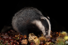 Badger cub enjoying the spoils of autumn (Thomas Winstone) Tags: wales unitedkingdom uk canon mammal countryside mammals canonuk 300mm28mk2 wild nature forest fur evening outdoor dusk forestry wildlife bbc gitzo nationalgeographic springwatch bbcspringwatch canon1dxmark2 thomaswinstonephotography light sun cub stripes flash tripod young badger conkers mustelidae offcameraflash yongnuoflash600exrtii