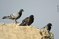 (Enllasez - Enric LLaó) Tags: aves aus bird birds ocells pájaros 2019 cerveradelmaestre cerveradelmaestrat